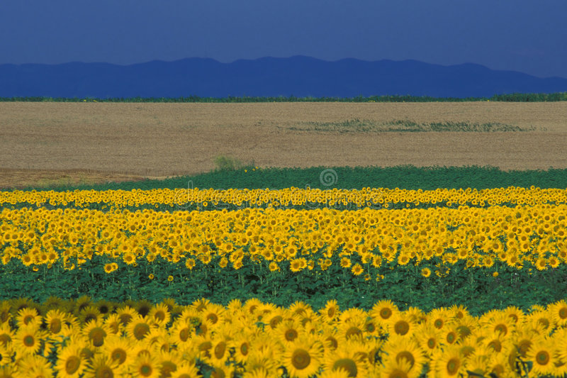 Sunflowers. Sunflower field, Vrancea Mountains, Eastern Carpathians, Romania stock images