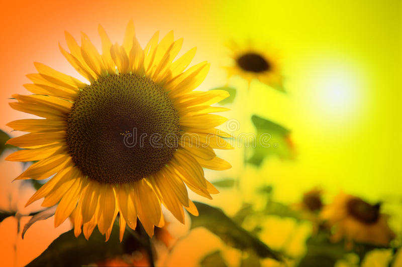 Download Sunflowers stock image. Image of garden, spring, beautiful - 22152743