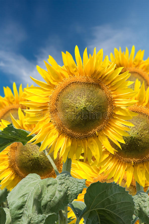 Download Sunflowers stock photo. Image of natural, details, botany - 23041998