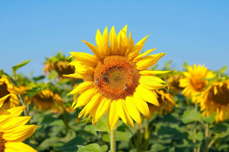 Download Sunflowers stock image. Image of insect, meadow, blue - 23768101