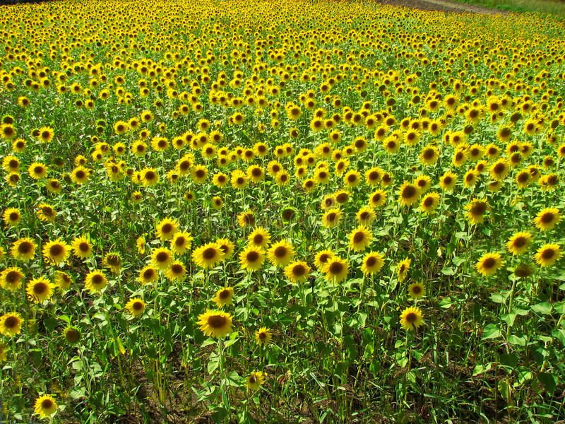 Download Sunflowers stock photo. Image of sunflowers, farm, garden - 23848428