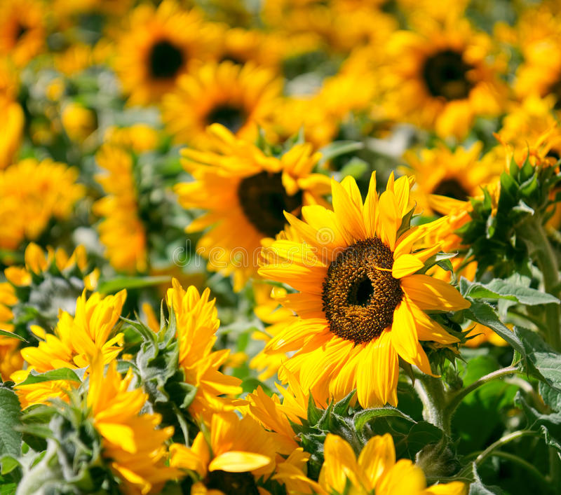 Download Sunflowers stock photo. Image of season, cultivated, stamens - 25086706