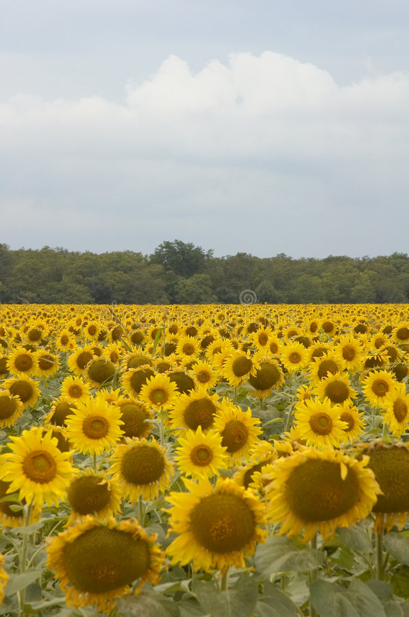 Download Sunflowers stock photo. Image of countryside, mass, field - 254252