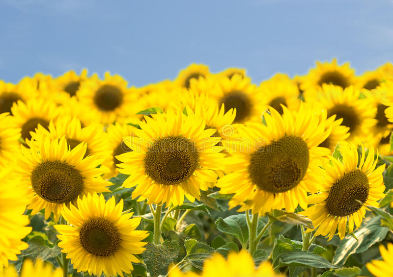 Download Sunflowers stock image. Image of summer, blossom, yellow - 25534971