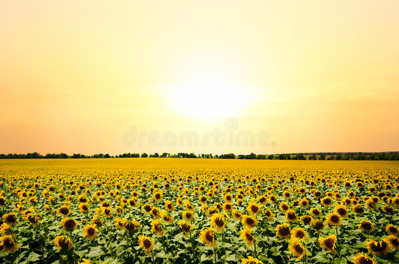 Download Sunflowers stock photo. Image of bright, green, sunflower - 25643386