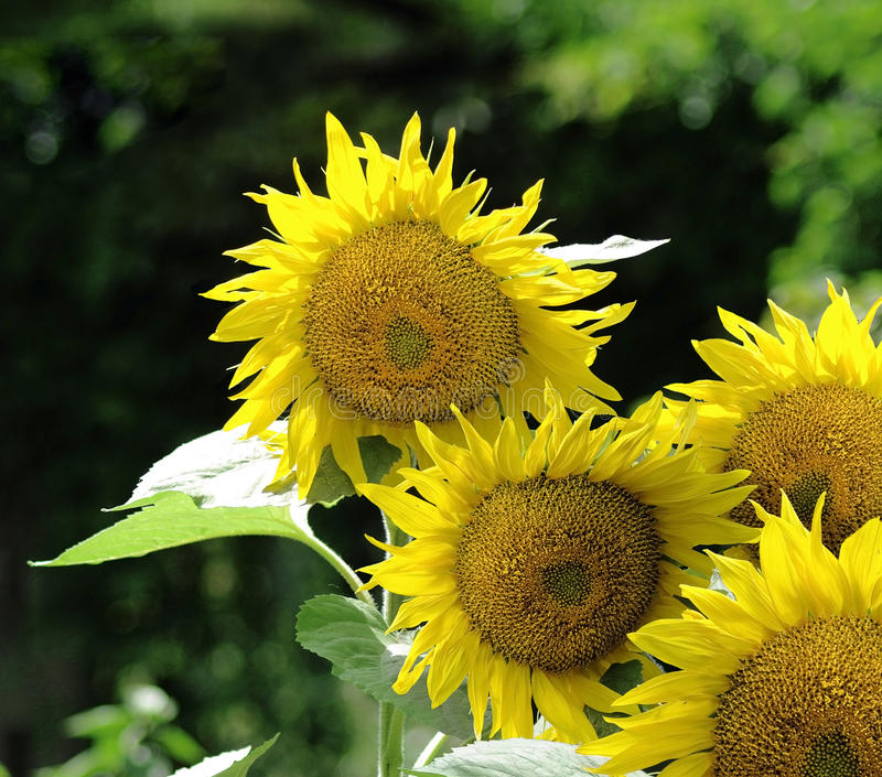 Download Sunflowers stock image. Image of plant, group, flora - 25678029