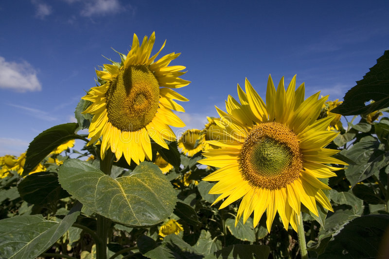 Sunflowers. Detail on sunflower filed stock image