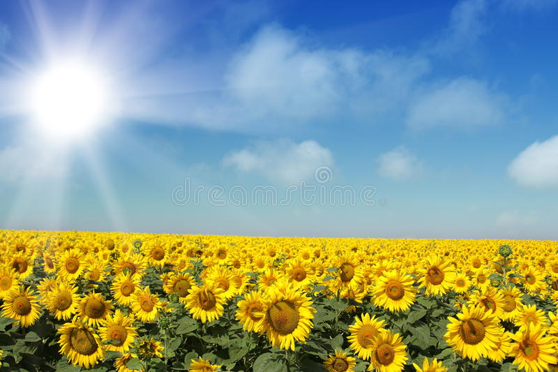 Download Sunflowers stock image. Image of image, field, common - 27875257