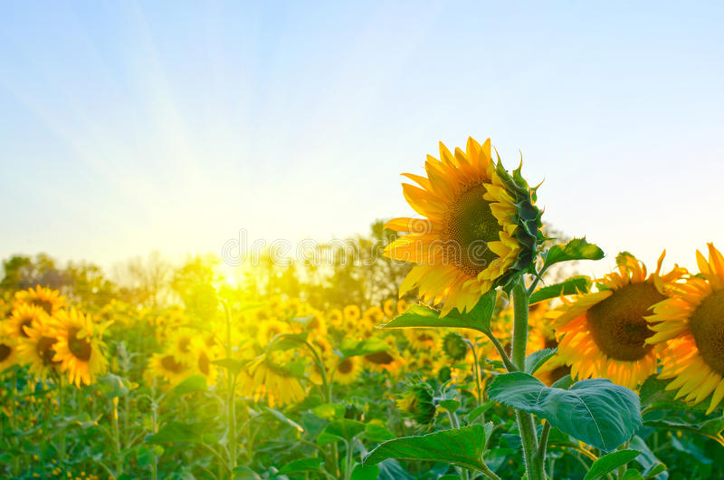 Sunflowers. Beautiful sunflowers at field with blue sky and sunburst stock photos
