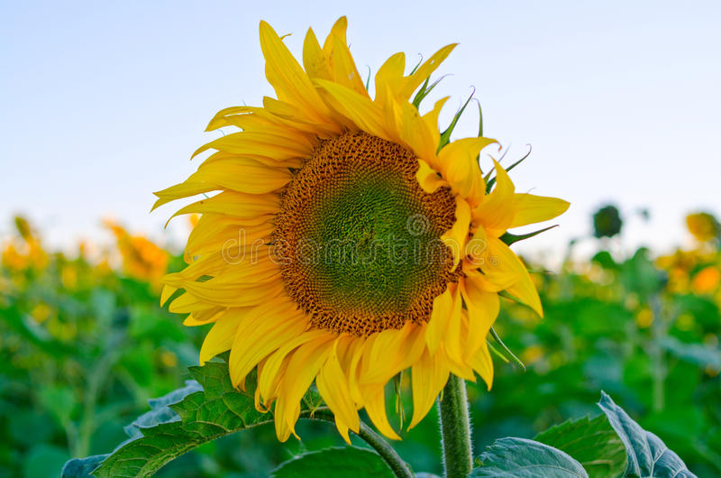 Download Sunflowers stock photo. Image of flora, blooming, blossom - 28134212