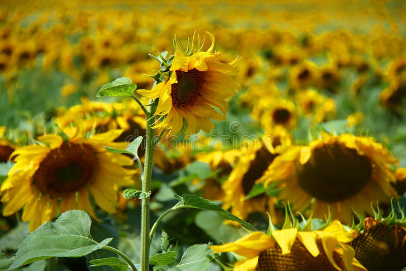 Download Sunflowers stock image. Image of blossom, farming, culture - 28550575