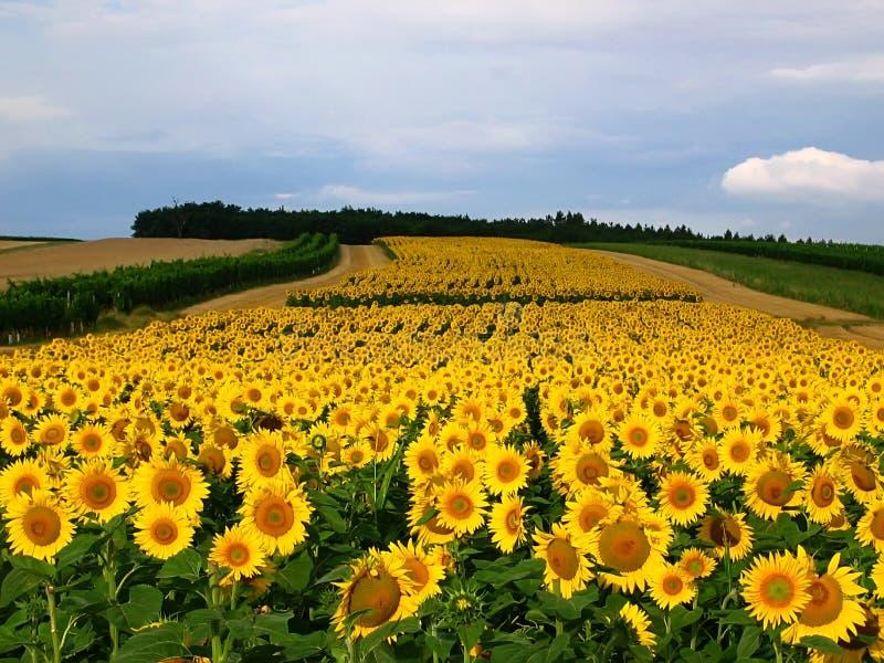 Download Sunflowers stock image. Image of sunflower, sunflowers - 3019835