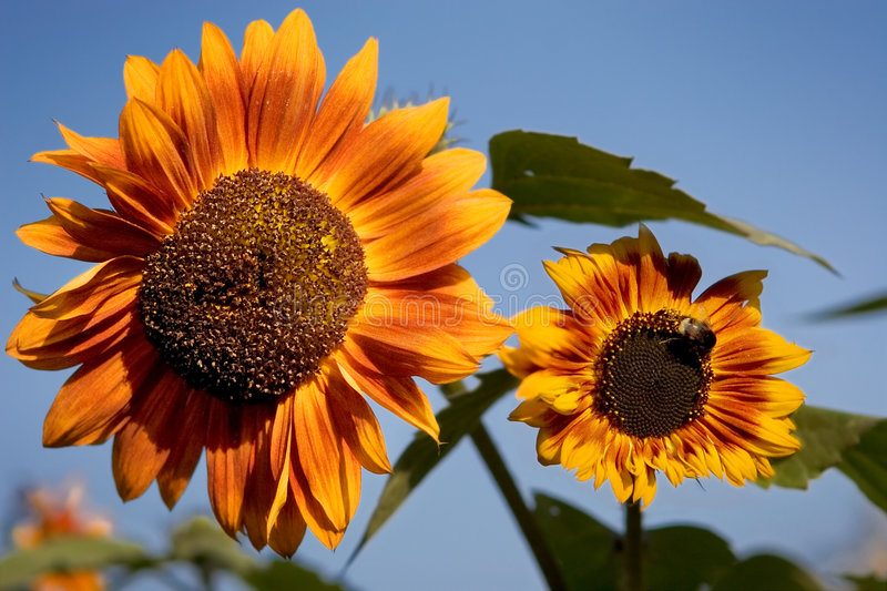 Download Sunflowers stock photo. Image of fresh, honey, crops, blue - 302086