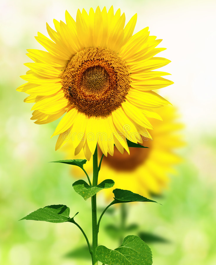 Download Sunflowers stock photo. Image of beautiful, bloom, food - 4804718