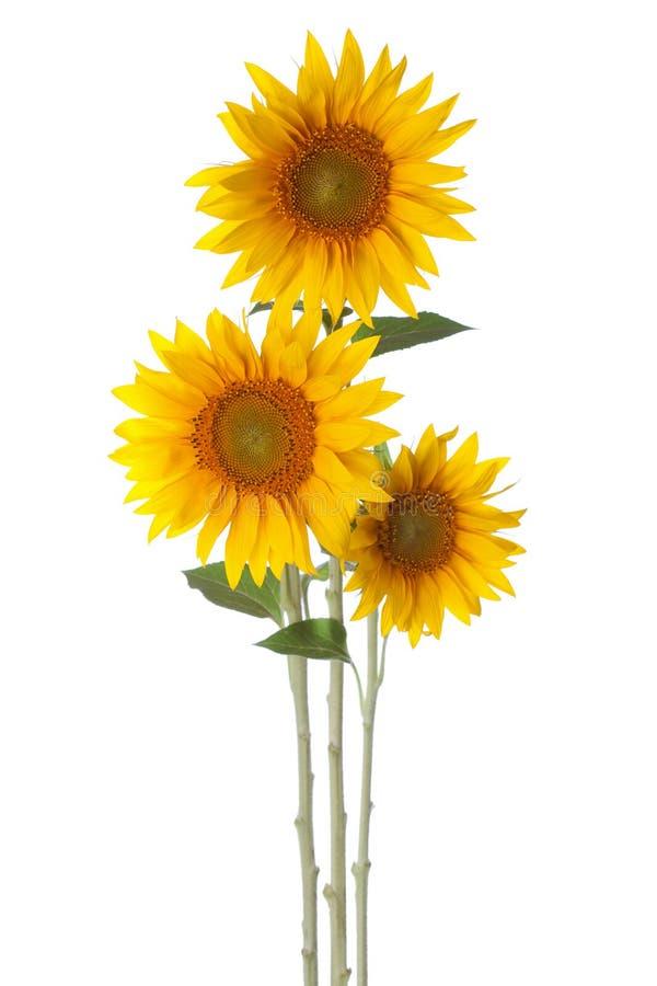Free Sunflowers Stock Photography - 53214242