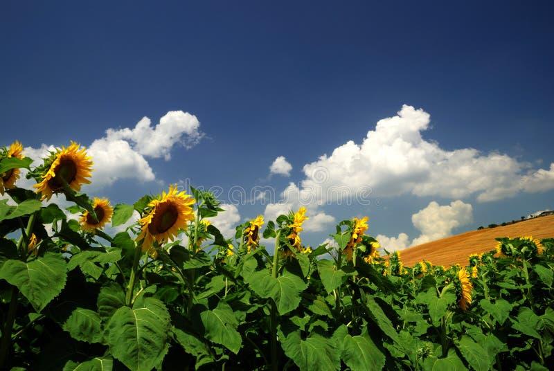 Download Sunflowers stock photo. Image of beautiful, sunflowers - 5672244