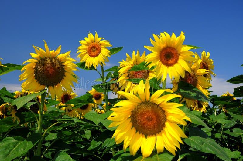 Download Sunflowers stock image. Image of sunflowers, blue, crisp - 5760453