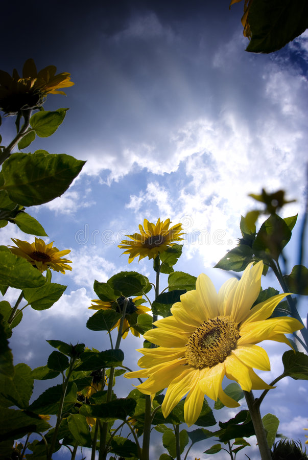 Free Sunflowers Stock Image - 5975561