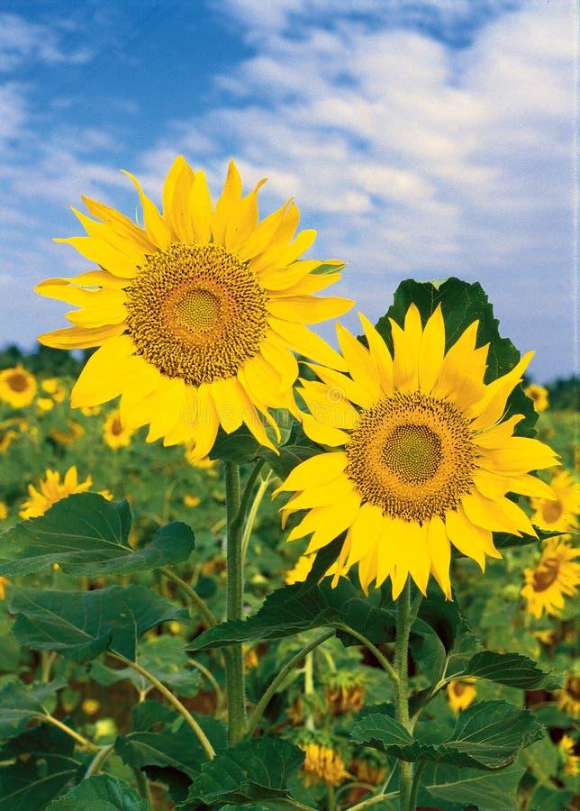Free Sunflowers Stock Photography - 6782132