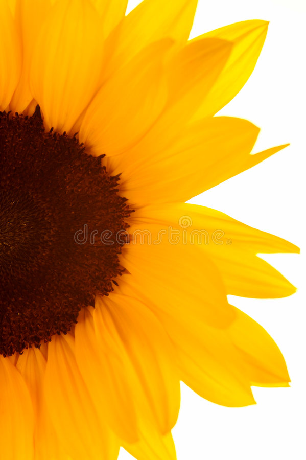 Free Sunflowers Royalty Free Stock Photo - 7321525