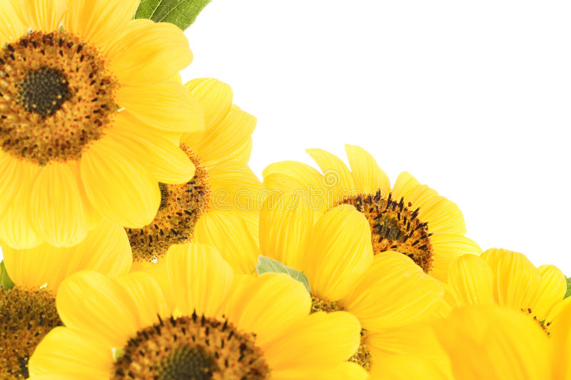 Sunflowers royalty free stock photography