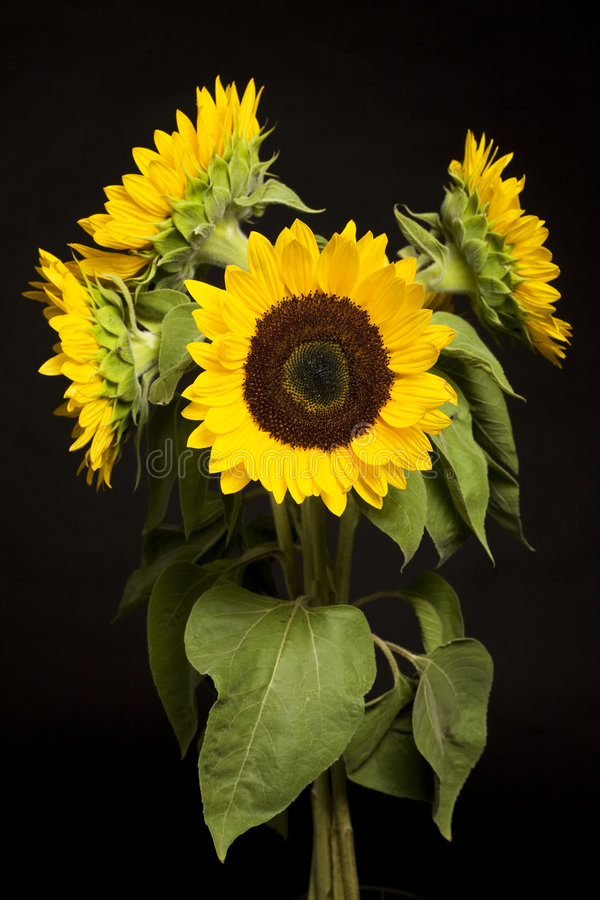 Download Sunflowers stock photo. Image of bouquet, sunflower, still - 8240956