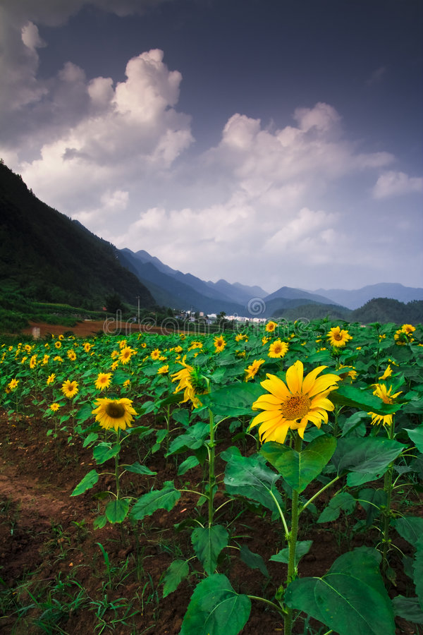 Free Sunflowers Royalty Free Stock Images - 8393389