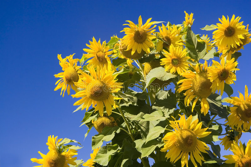 Sunflowers against blue sky. Group of sunflowers against blue sky royalty free stock image
