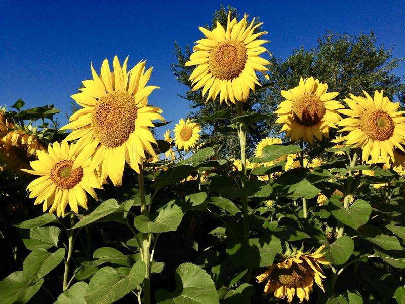Sunflowers in the Altai Mountains stock photography