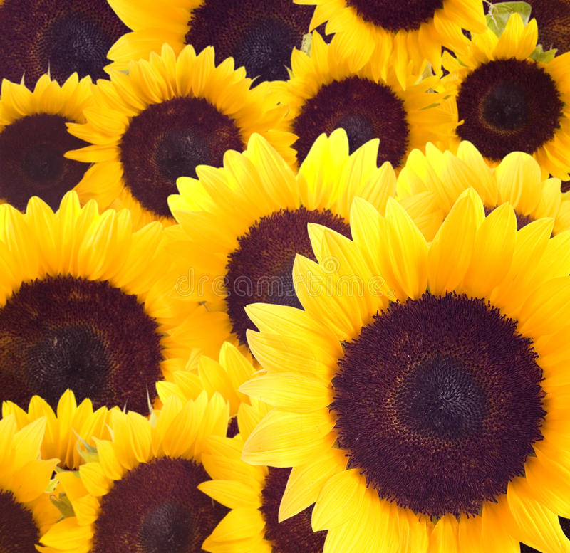 Download Sunflowers Background Royalty Free Stock Photo - Image: 19950505