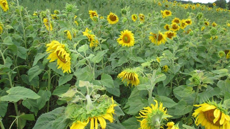 Sunflowers. stock photo