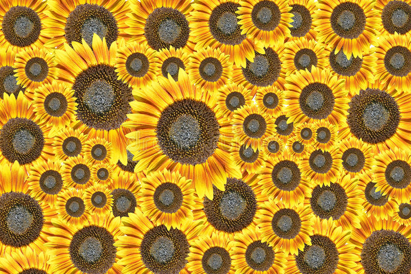 Sunflowers background. Background made of beautiful yellow sunflowers stock images