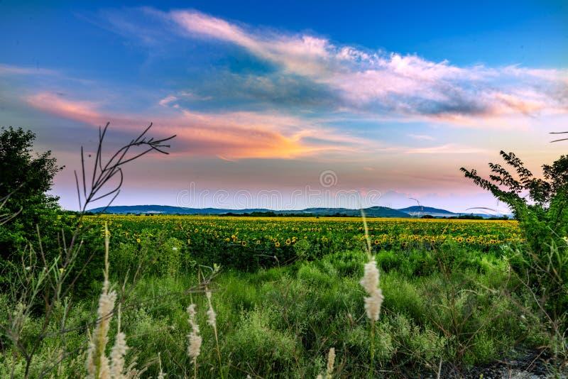 Sunflowers and beautiful sunflower fields from Bulgaria stock photo