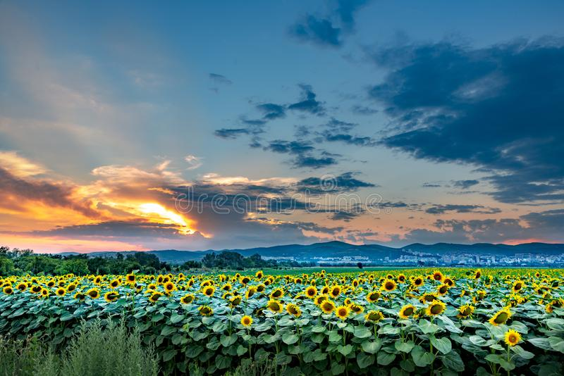 Sunflowers and beautiful sunflower fields from Bulgaria royalty free stock photos