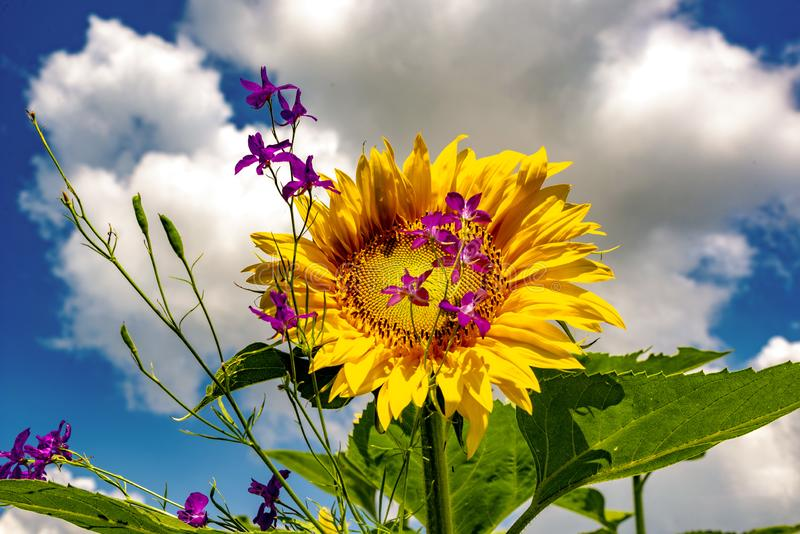 Sunflowers and beautiful sunflower fields from Bulgaria royalty free stock images