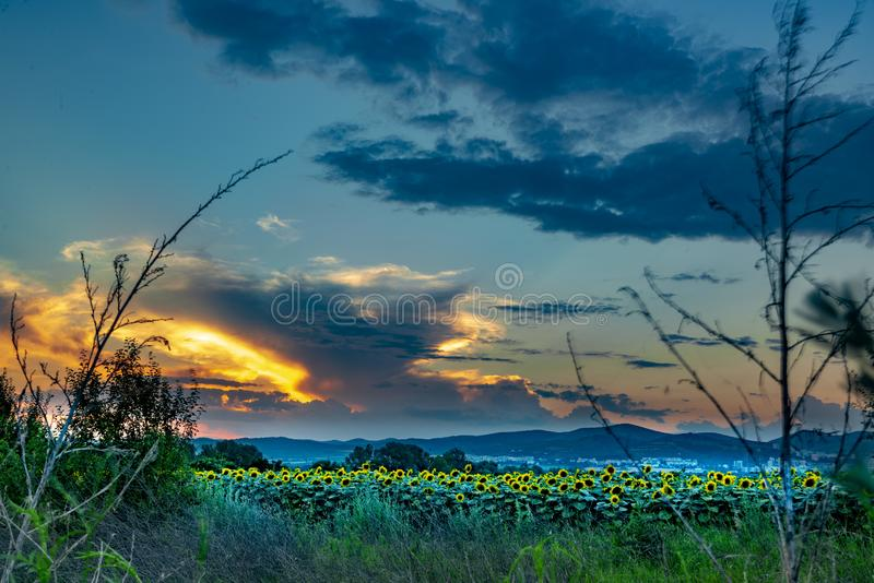 Sunflowers and beautiful sunflower fields from Bulgaria royalty free stock photo