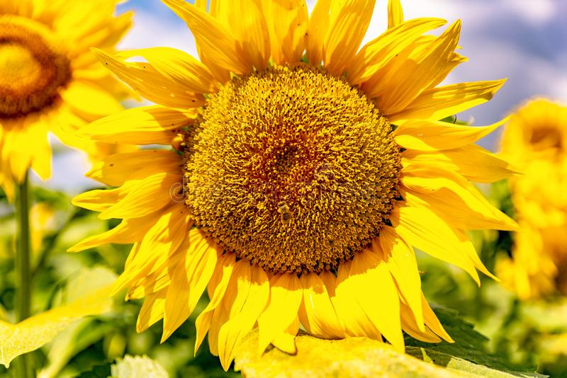 Sunflowers and beautiful sunflower fields from Bulgaria royalty free stock image