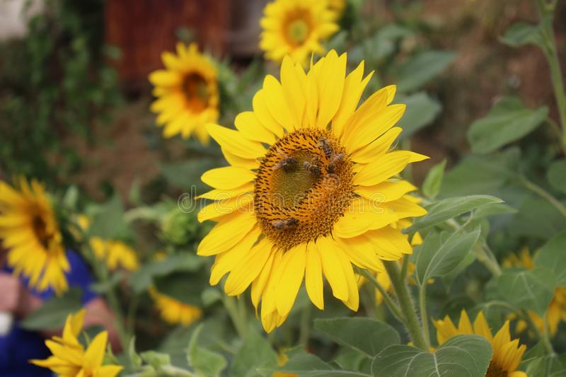 Sunflowers with bees in my organic garden. royalty free stock images