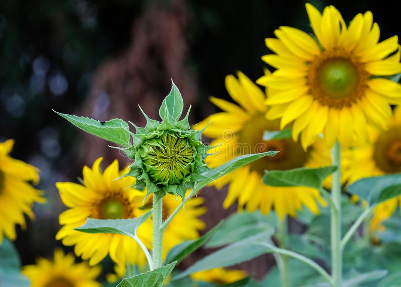 Sunflowers Beginning Grownup, Countryside. royalty free stock photography