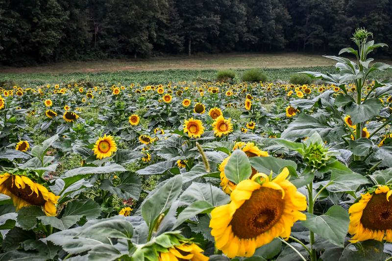 Sunflowers beginning to bloom, Jasper, Georgia, USA. Sunflowers beginning to bloom in the field, Jasper, Georgia, USA royalty free stock images