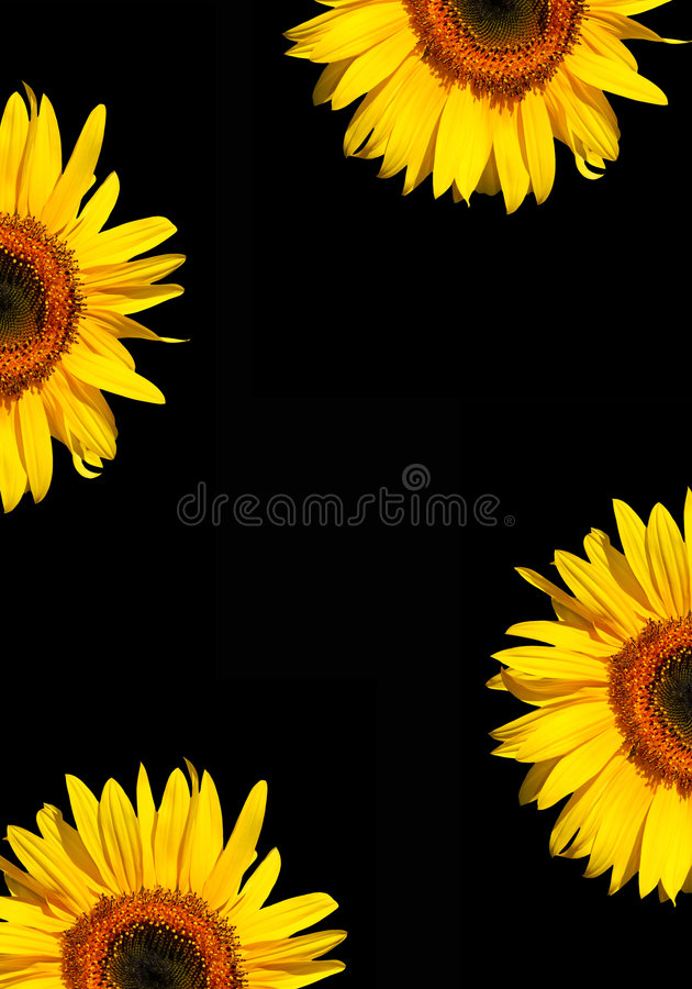 Sunflowers on Black stock illustration