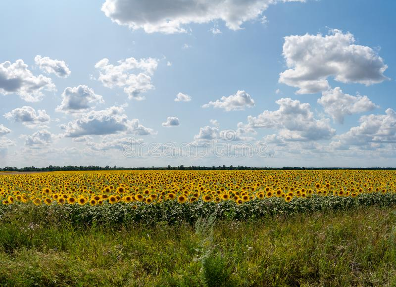 Sunflowers bloom in a field on a farm royalty free stock images