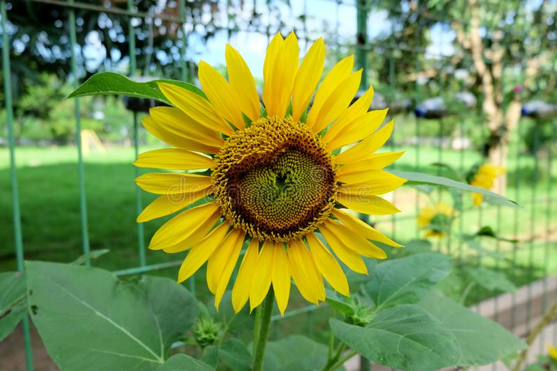 Sunflowers bloom in a garden stock photos