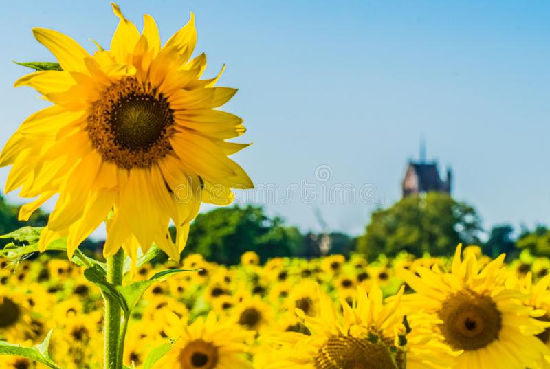 Sunflowers in bloom wythall West Midlands uk church settple in background beautiful scene. Stunning stock photography