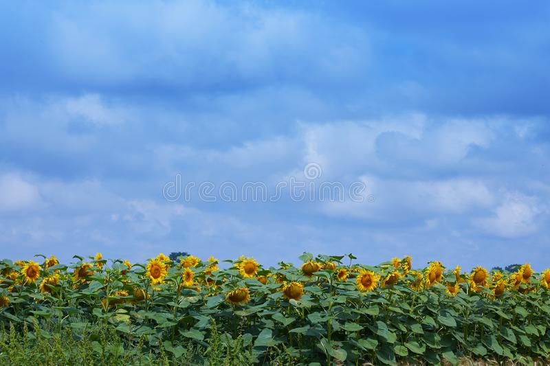 Sunflowers blooming in the bright blue sky, nice landscape with sunflowers. Fields with an infinite sunflower. Agricultural field. Sunflowers blooming in the stock images