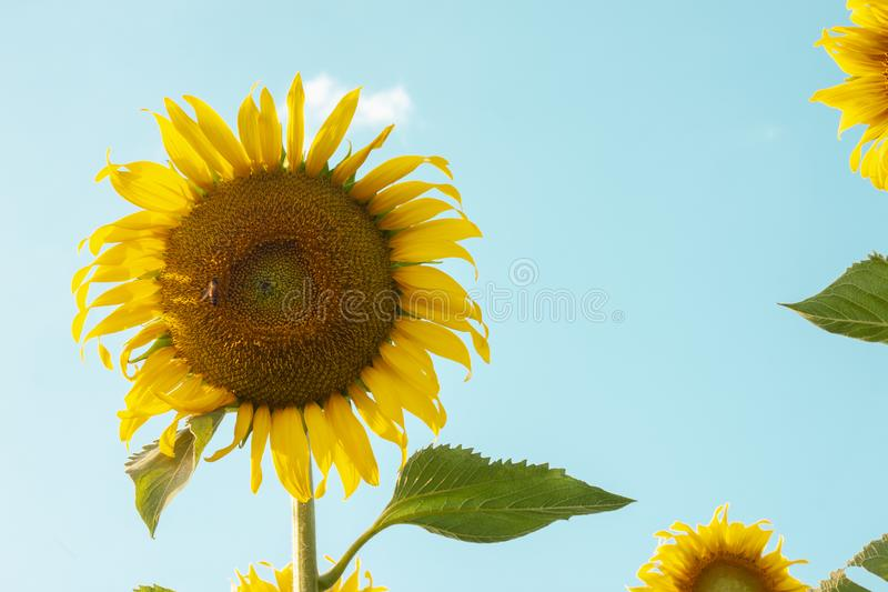 Sunflowers are blooming in the garden on the sky background. stock photos
