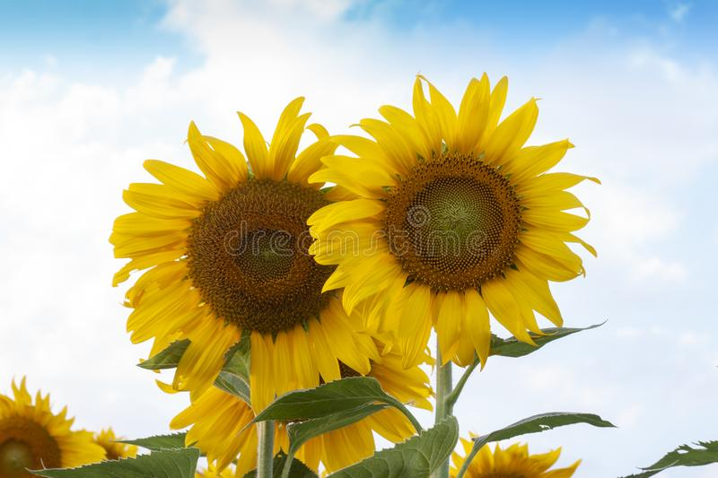 Sunflowers are blooming in the garden. royalty free stock photography