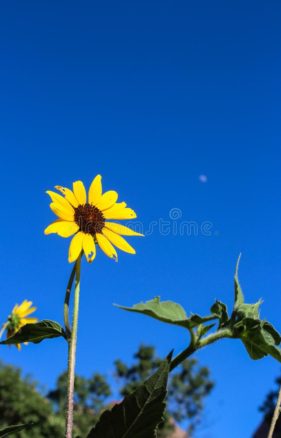 Sunflower under blue sky, Zion National Park. Sunflowers are blooming under blue sky at Zion National Park, Zion, Utah, USA. The white spot in the blue sky is royalty free stock photos