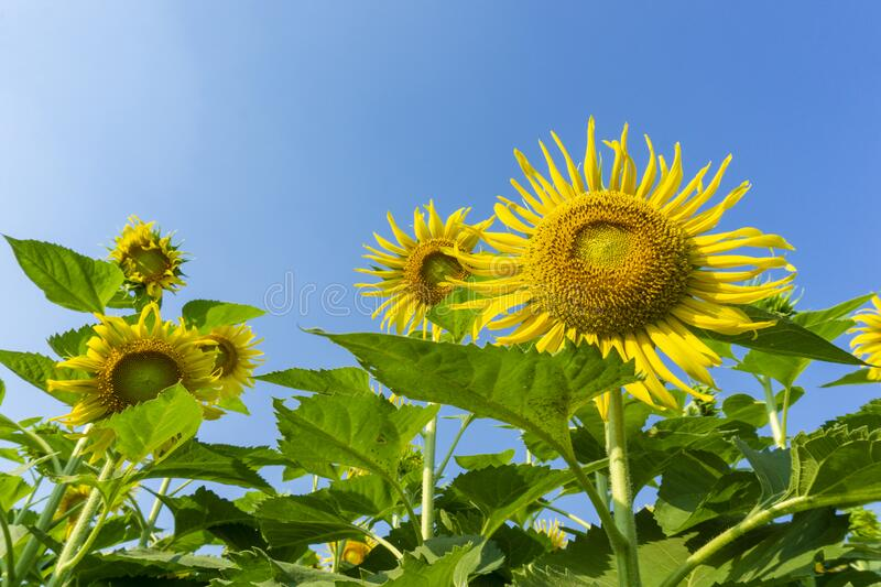 Sunflowers and Clear blue sky background stock images