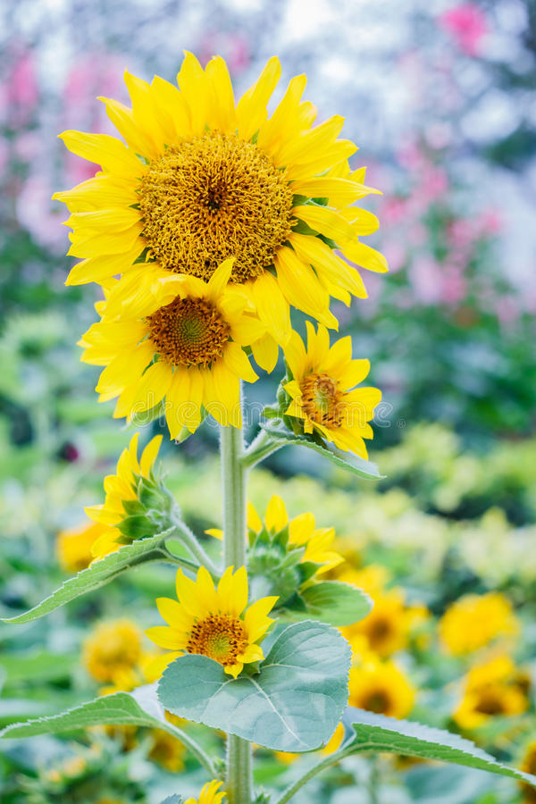Sunflowers. Close up sunflower with sunflowers field backgrounds and sunlight royalty free stock photos